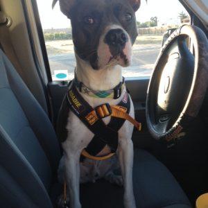 Ruff Rider Roadie dog safety harness - Size 2